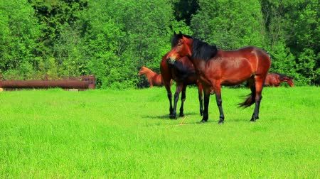 jíst : Horses walking on green field. Rural landscape. Brown horses grazing on pasture. Herd horses eats green grass on rustic pasture. Close up brown horses graze on green meadow