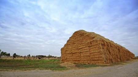 коровы : Haystack on livestock farm. High heap of straw on background of dairy farm. Straw for feeding cattle. Straw for feeding dairy cows on farm. Forage for cattle