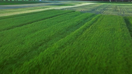 grain growing : Wheat field landscape. Grain growing on farming field. Aerial view green barley on agricultural field. Rural farming. Beautiful aerial landscape colorful harvest field