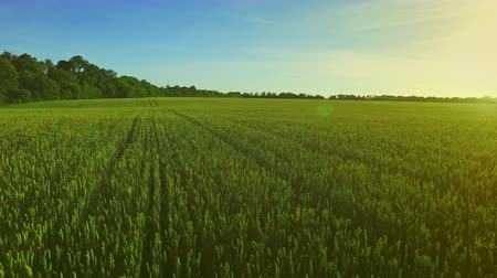mead : Wheat green field landscape. Summer barley field in sunny day. Green agricultural field. Grain growing on summer meadow. Aerial view wheat field green. Aerial agriculture harvest Stock Footage
