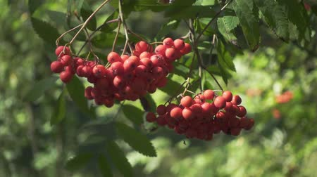 Ripe rowan berries on green branches mountain ash tree in forest. Close up bright berries roman trees on background green foliage trees in garden Wideo