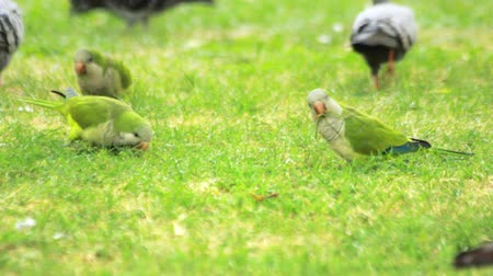 papagaio : Parrots birds graze on green grass. Green wavy parrots and pigeons walking on summer meadow. Flock wavy parrots eating fresh grass on green meadow Stock Footage
