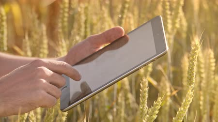 científico : Male hand touch tablet computer in wheat ears. Farmer using modern technology in wheat field. Scientist working with tablet pc in field. Smart agriculture technology Stock Footage