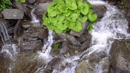 karpaty : Wild river stream. Stone water splash. Green bush grow on stones in waterfall. Clear stream water flow between dark stones. River falling on rock Dostupné videozáznamy