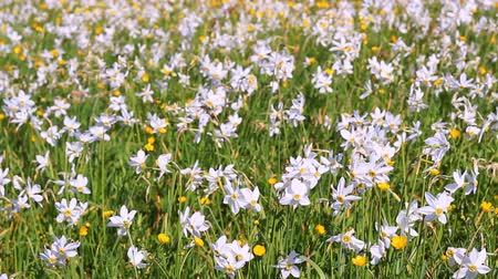 żonkile : Field of flowering daffodils and buttercups. Beautiful flower bed. Flower clearing. Spring bed with beautiful white daffodils and yellow buttercups. Narcissus flowers landscape