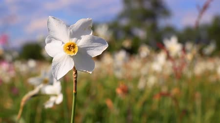żonkile : White narcissus flower close-up. White daffodil flower in spring field. Spring field with beautiful daffodils. Gifts of nature. Spring flowers landscape
