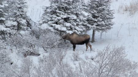 alasca : Moose browsing on sparse vegetation in winter in Alaska with snow