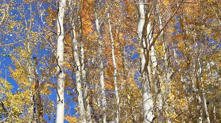 quaking : Aspens moving in the wind with fall colors and a bright blue sky