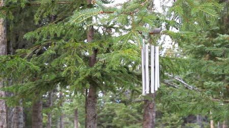 árvores : Wind chimes blowing in the wind with spruce trees Vídeos