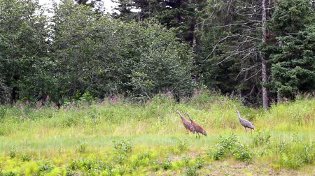 birds flying : Family of Sandhill Cranes taking off in an Alaskan meadow with trees in the background