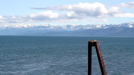orel : Bald eagle sitting on a next on an old pier pillar by the Kachemak bay in Alaska Dostupné videozáznamy