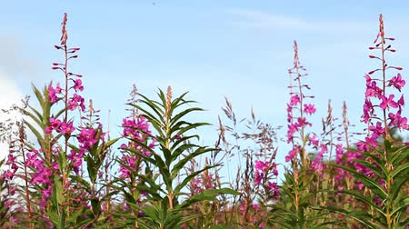 yabanarısı : Fireweed with bees in summer blowing lightly in the wind.
