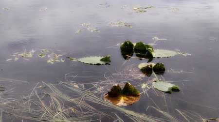 vízválasztó : Lily pads on a lake with light and rain drops falling in rings on the water. Stock mozgókép