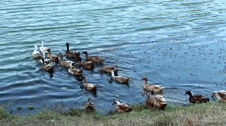 kaczka : Ducks swimming