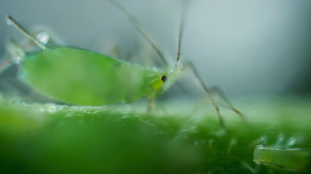onto : Aphids on the flower Stock Footage