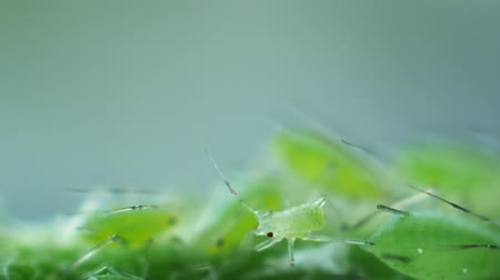 onto : Aphid small big travel Stock Footage