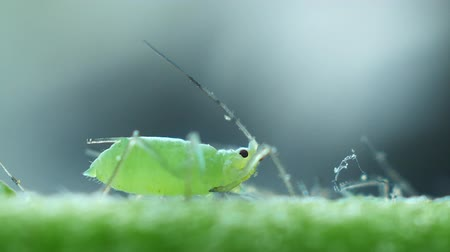 parasite : Aphids close-up on the stem Stock Footage