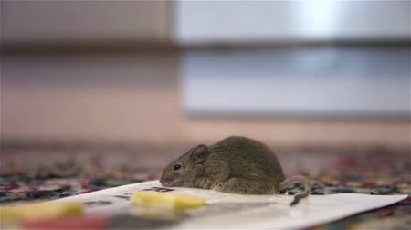 ловушка : Gray mouse twitches in mousetrap. Mouse fell into sticky mousetrap Стоковые видеозаписи