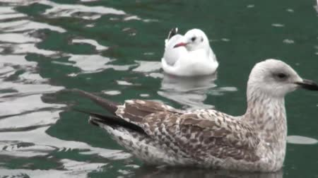 membranous : Proud seagull