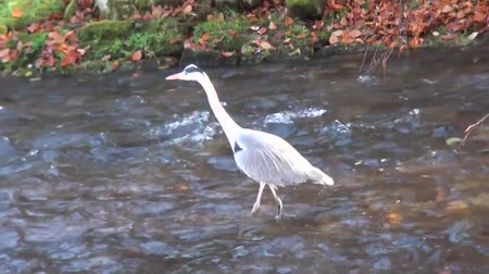 yellowish green : Gray crane walks slowly and steady in water