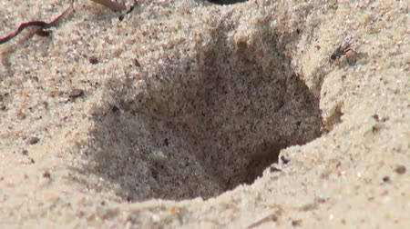 bugs : Wasp creating shelter in sand, at the beach Stock Footage