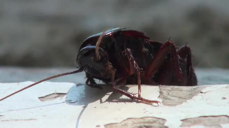 haşarat : Close up of cockroach desperately trying to climb a plank Stok Video