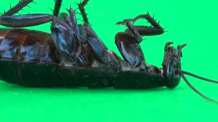 haşarat : Cockroach lying on its and moving its feet