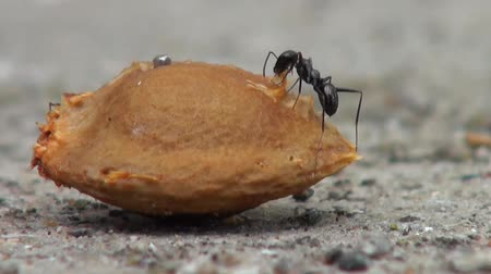 муравей : Black ants crawling around an apricot seed