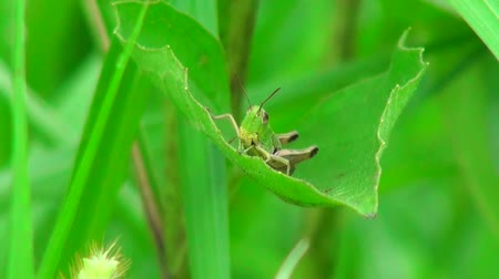 bugs : Close up of grasshopper sitting on leaf Stock Footage