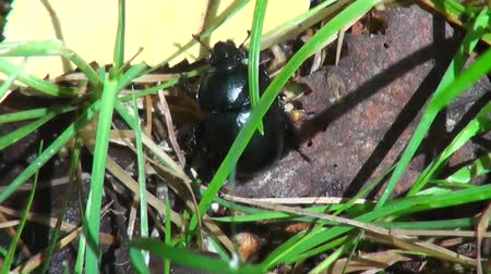 havlama : black beetle delves into the branches and grass Stok Video