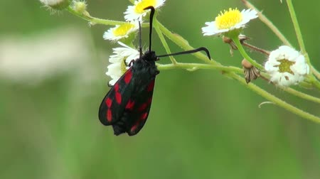 silybum : beautiful butterfly sitting on a flower Stock Footage