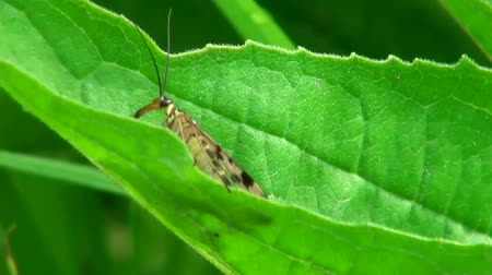 silybum : butterfly sitting on leaf