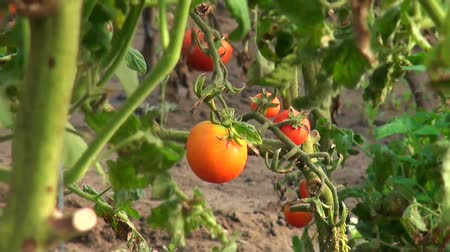 cultivar : beautiful house tomatoes in the garden