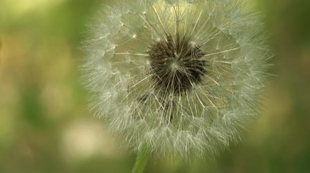 compositae : Dandelion swaying in the wind in the meadow