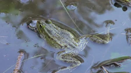 чистый : Frog mating period