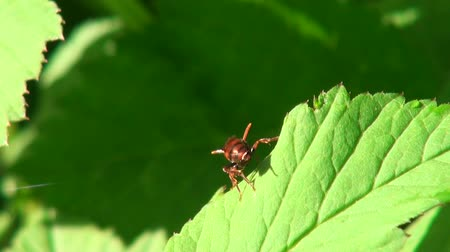 tick : Deer louse cleans its wings on a green leaf Stock Footage