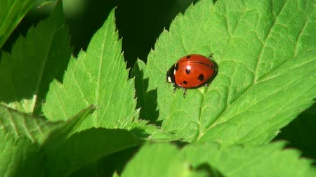 lice : Ladybug crawling on a leaf of grass Stock Footage
