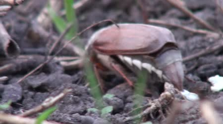bigodes : closeup chafer crawling on the ground in their burrow Vídeos