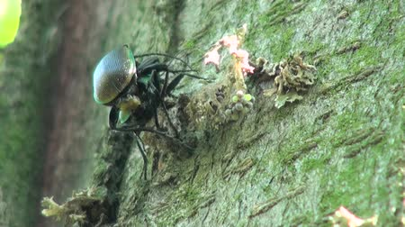 havlama : Ground Beetle on the tree bark acacia