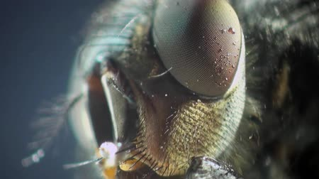 mucha : macro Housefly in amazing detail Wideo