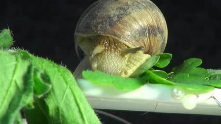 оболочка : Big snail on a green leaf