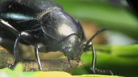 kofferbak : Kever macro bug Stockvideo