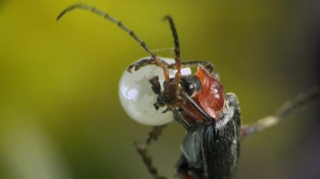 bugs : Cantharis macro bug Stock Footage