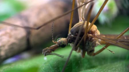 kofferbak : Crane fly macro