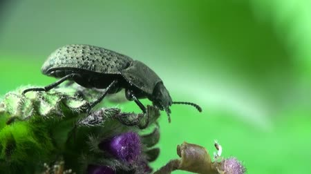 percevejo : Beetle macro bug