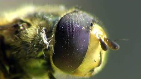 gafanhoto : Housefly head macro