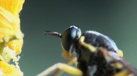 bugs : Temnostomina fly macro Stock Footage