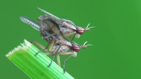 bugs : Chloropidae foresight macro Stock Footage