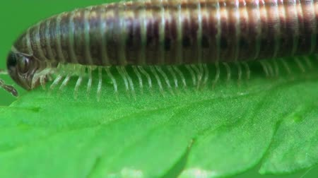 bugs : caterpillar Myriapoda macro Stock Footage