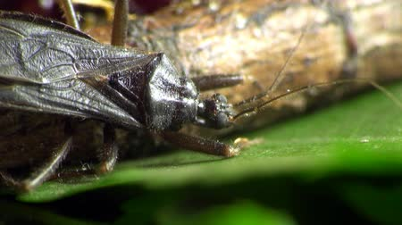 bugs : scutellatus beetle macro Stock Footage